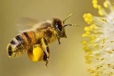 bi henter nektar