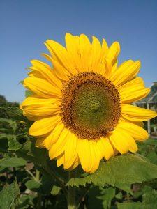 solsikkeblomst Spøttrup Bigård